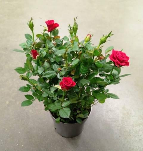 Роза кордана: выращивание и уход в домашних условиях и в саду