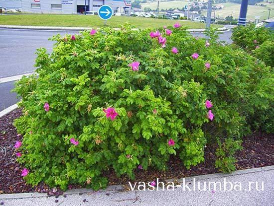 Красавица роза парковая: посадка и уход