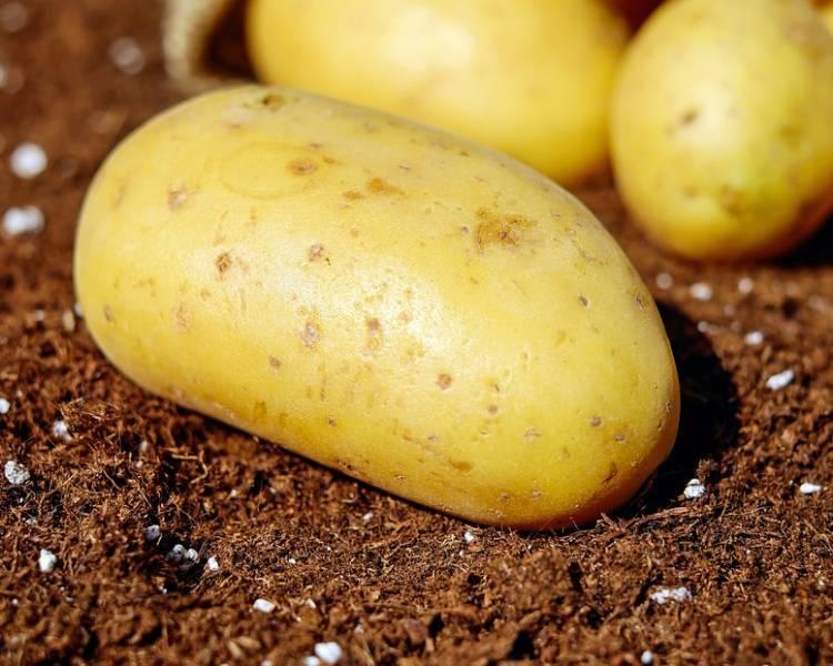 Успешный старт — удобрение при посадке картофеля