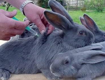 Прививки кроликам какие и когда делать раббивак