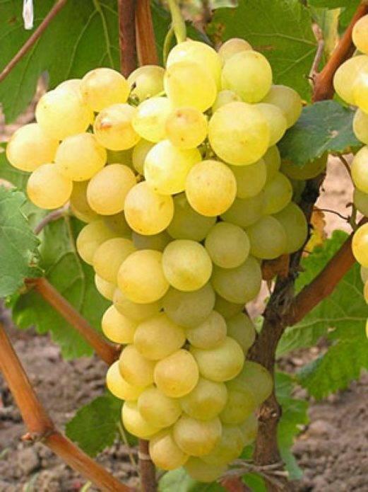 Устойчивые сорта винограда к болезням и морозам, неприхотливые сорта