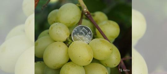Особенности сорта винограда «кеша», фото