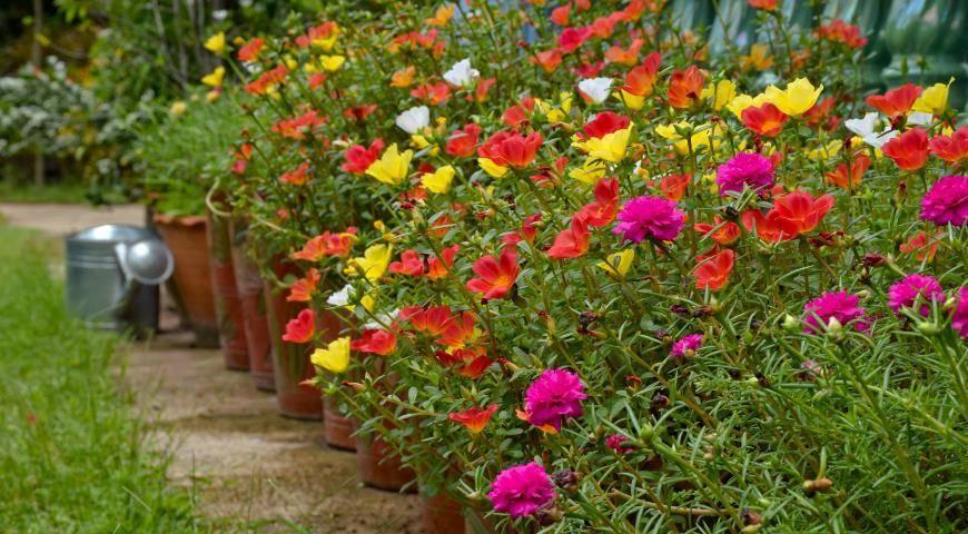 Портулак: выращивание из семян, когда сажать - сроки, правила, инструкции!