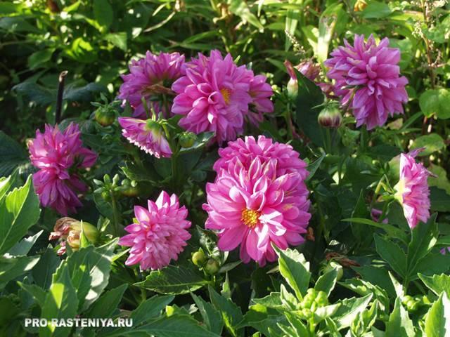 Лучшие виды и 40 сортов красивых садовых георгин