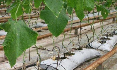 Способы посадки огурцов в открытом грунте
