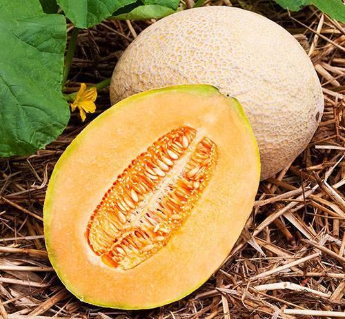 Выращивание дыни в теплице: посев семян, пересадка рассады, освещение, подкормка и сбор урожая