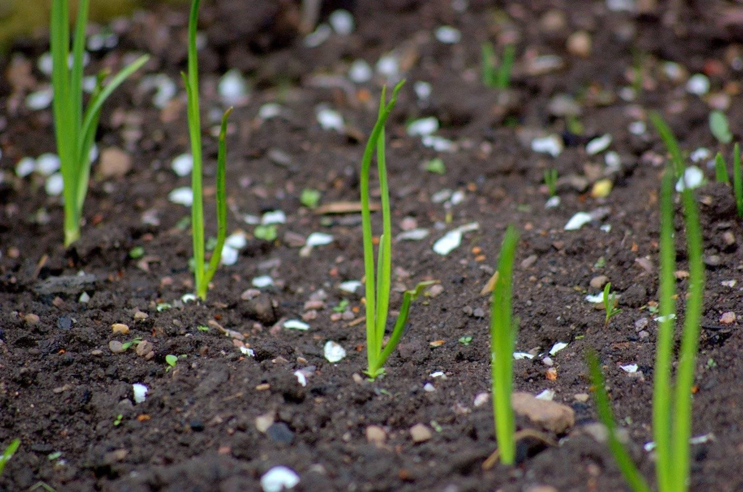 Выращивание лука-репки рассадой из семян за сезон