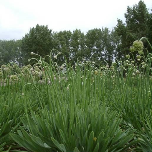 Лук эксибишен: выращивание из семян, когда сажать | топ огород