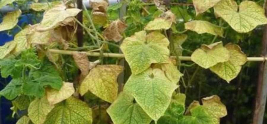 О тле на огурцах снизу листьев: как избавиться, чем обработать, опрыскивать