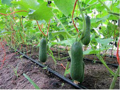 Особенности выращивания огурца гармонист