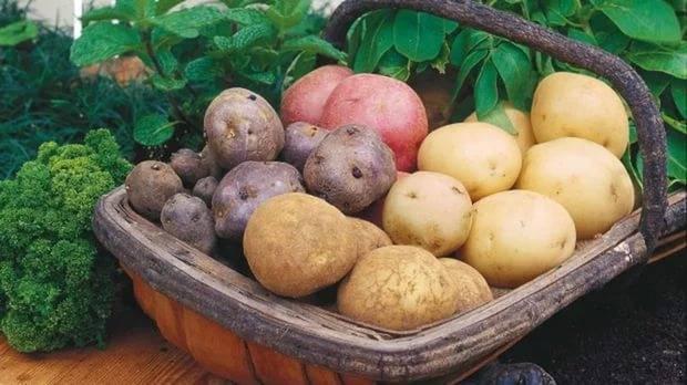 Лучшие ультраранние сорта картофеля - общая информация - 2020