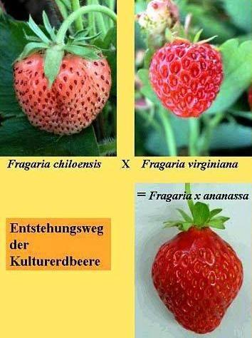 Отличие между клубникой и земляникой — состав ягод, ботанические отличия