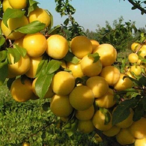 Правила посадки и ухода за сортом абрикоса погремок