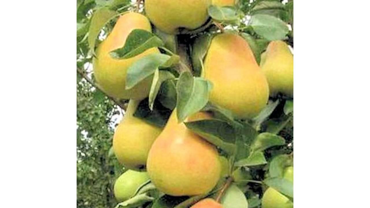 Груша «москвичка»: особенности выращивания и уход
