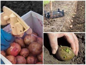 Как проводится обработка картофеля от колорадского жука перед посадкой