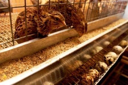 Как осуществлять кормление перепелов: чем кормить перепелов в домашних условиях, чтобы хорошо росли и неслись