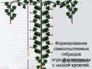 Можно ли обрезать у огурцов нижние листья