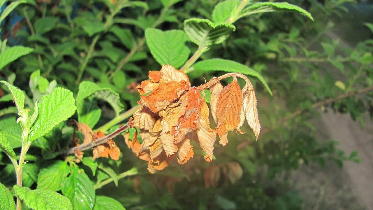 Слива сохнет что делать.  растение вянет после цветения