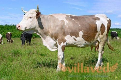 А вам интересно знать, сколько весит корова? максимальный вес коровы и быка - общая информация - 2020
