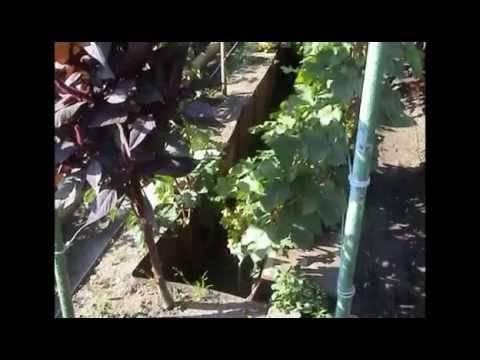 Обрезка винограда: кордонная формировка сильнорослых сортов