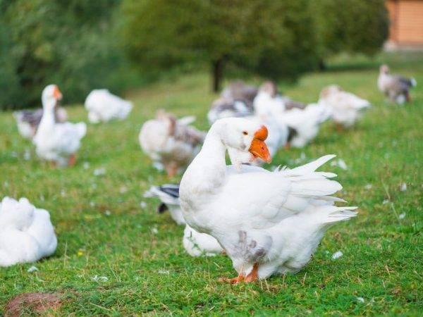 Выращивание холмогорских гусей в домашних условиях на даче
