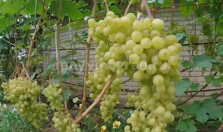 Виноград алешенькин: описание сорта, фото, отзывы, видео