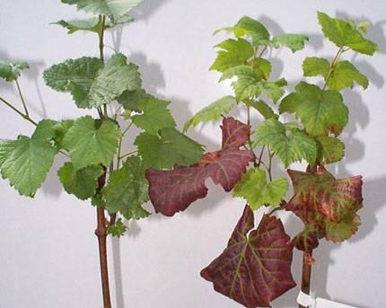 У винограда сохнут листья по краям и скручиваются — основные причины, болезни и советы как вылечить виноградник своими руками (115 фото + видео)
