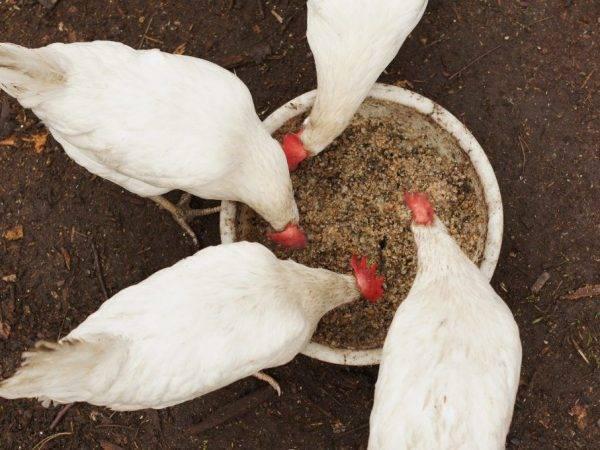Можно ли кормить кур несушек крапивой. как и когда давать крапиву цыплятам бройлерам