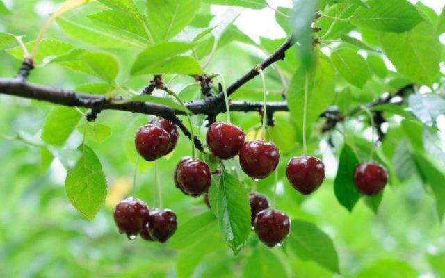 Болезни вишни и их лечение с фото и видео