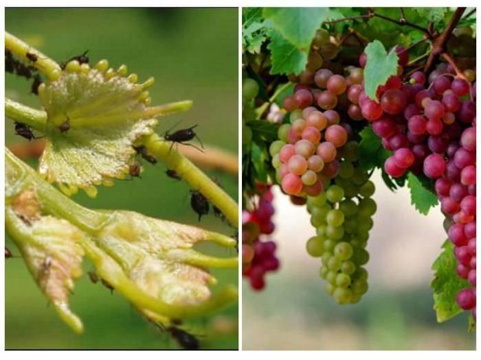 Борьба с вредителями и болезнями винограда: комплексная защита
