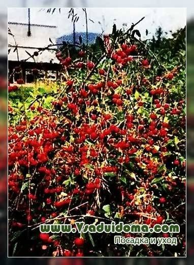 Вишня: описание 20 лучших сортов, характеристики и отзывы садоводов   (фото & видео)