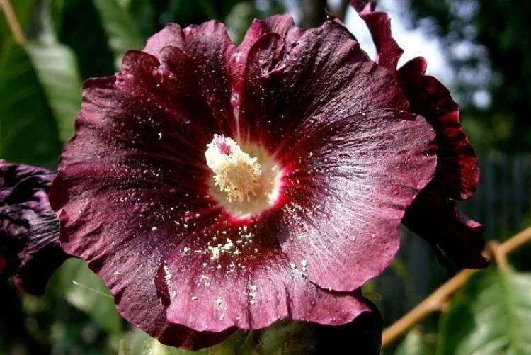 Мальва: красивая, лечебная, питательная
