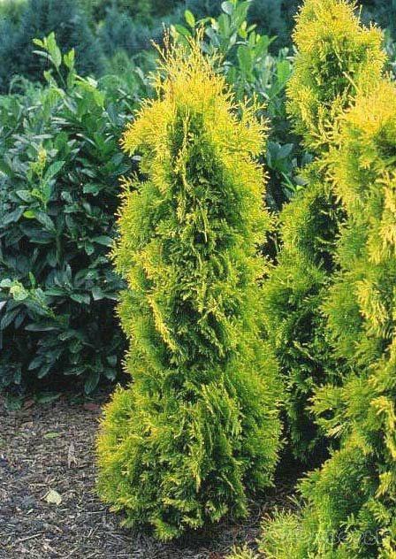 Колоновидные туи западные, желтая, посадка и уход, выращивание и размножение