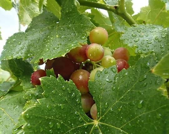 Отчего на винограде появляется милдью и как бороться с этой болезнью?