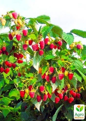 Малиновое дерево: посадка,уход и размножение (фото)