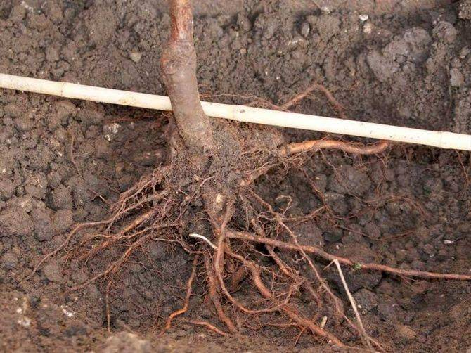 Как вырастить грушу в саду? очень подробное описание!