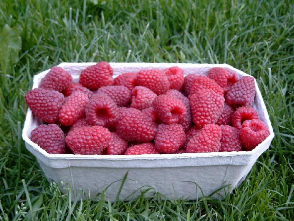 Ремонтантные сорта малины – наслаждение на все лето!