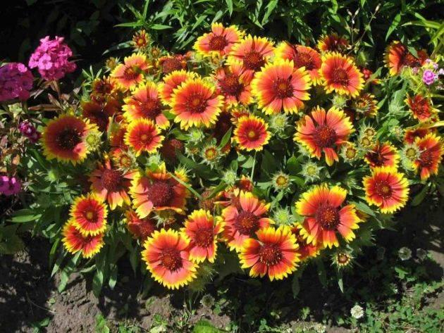 Все что нужно знать о многолетней гайлардии: как посадить и ухаживать за цветком