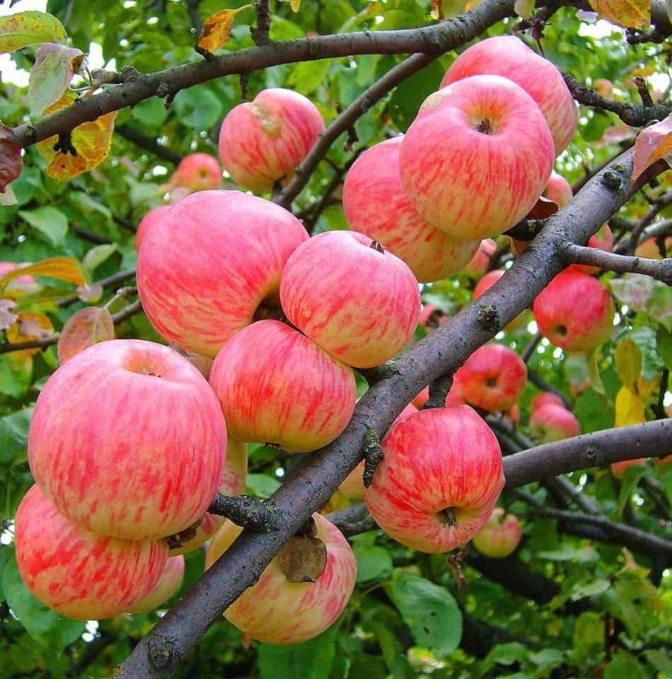Любимая яблоня орлик