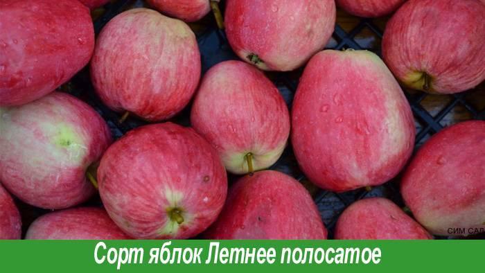 Летний полосатый сорт яблонь: описание и фото