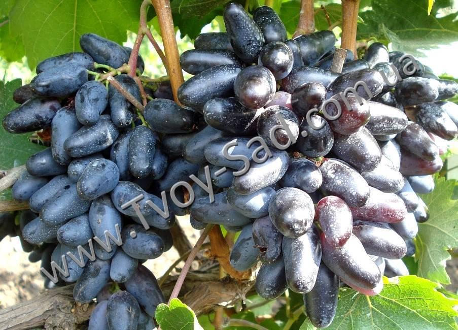 Описание винограда велика, основные характеристики, преимущества и недостатки