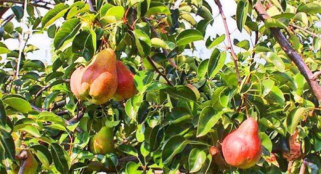 Сорт груши «брянская красавица»: характеристика, достоинства и недостатки