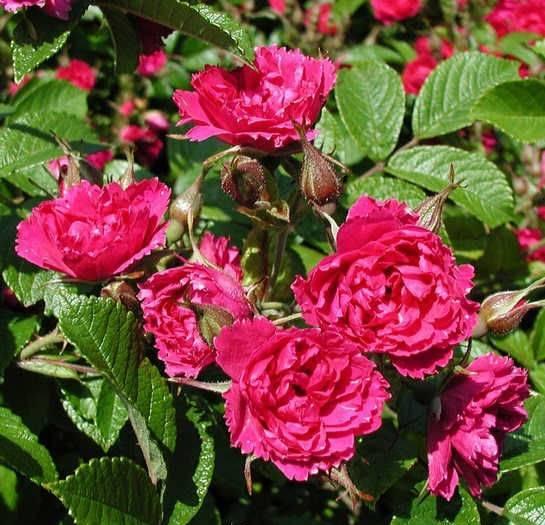 Обзор 6 лучших морщинистых роз