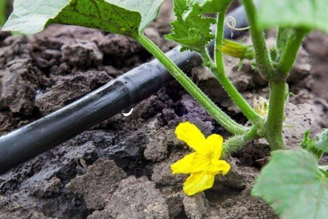 Как часто и как правильно поливать арбузы и дыни в открытом грунте, интенсивность полива