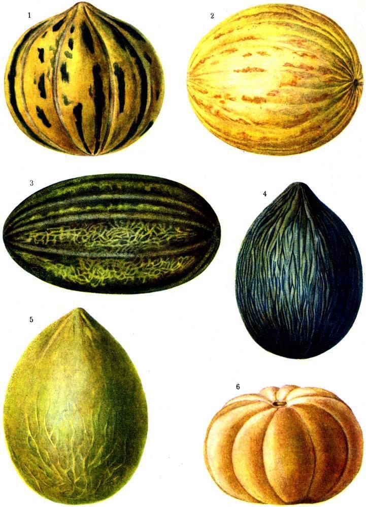 Особенности выращивания дыни в подмосковье