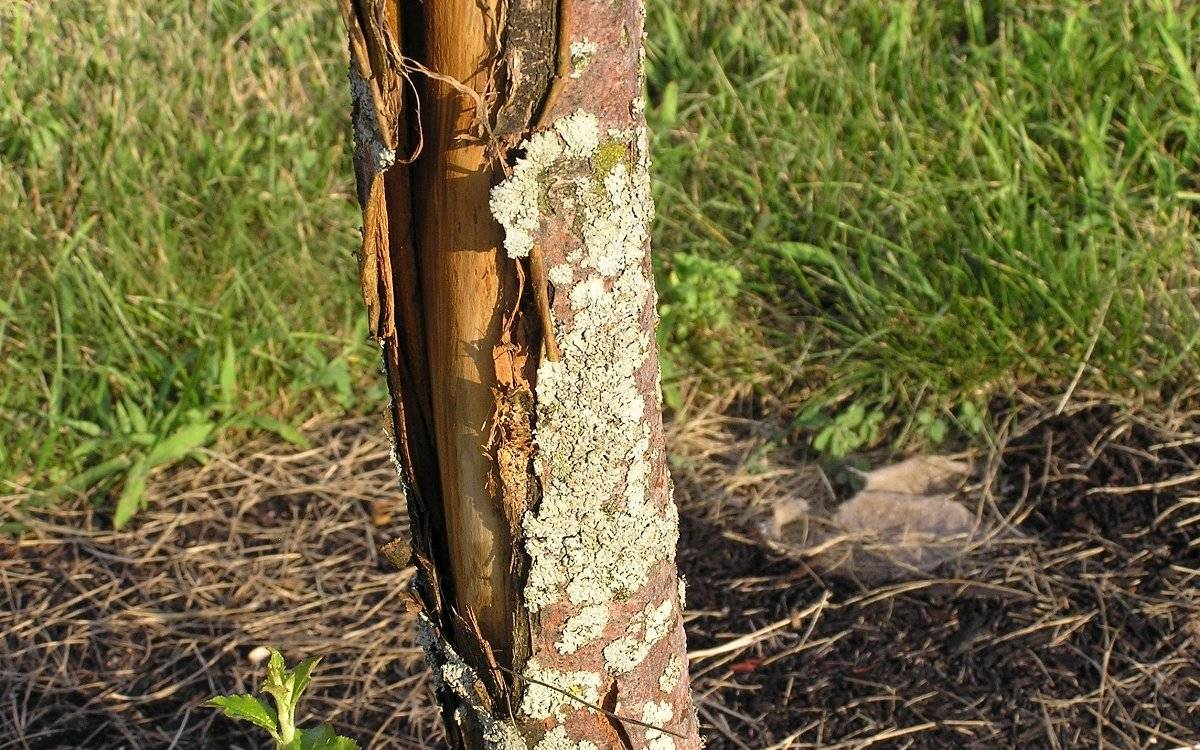 Как спасти яблоню?  яблоня почернела, отваливается кора — как вылечить?