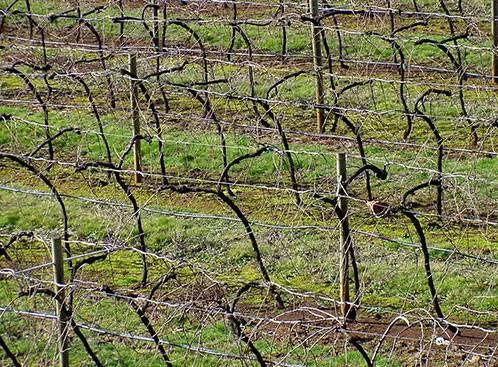 Как укрыть виноград на зиму в подмосковье и средней полосе