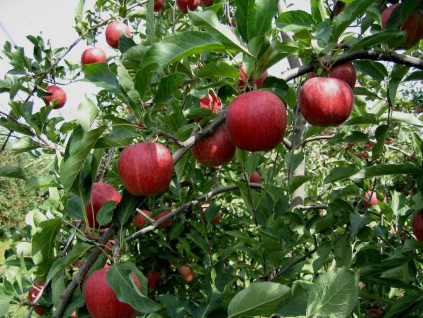 Яблоня гала: описание сорта, особенности выращивания