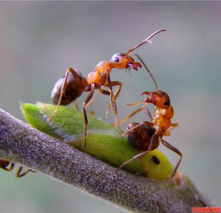 Как избавиться от тли на смородине:  чем обработать, как бороться с муравьями в саду
