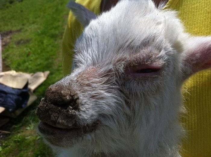 О болезнях коз: симптомы и лечение, чем может отравиться, что делать